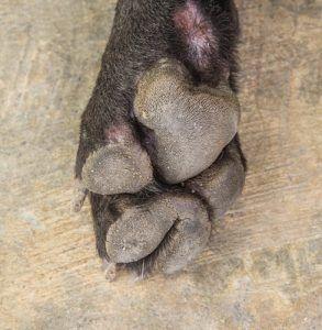 ВїEs su perro en riesgo de contraer esta enfermedad mortal