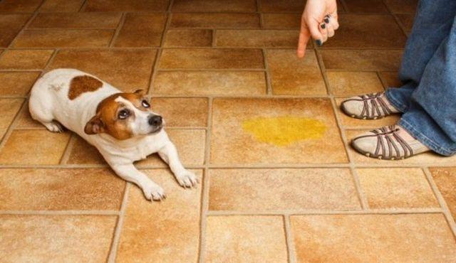 ¿Su perro entrenado haciendo pis en casa? Puede haber una razón