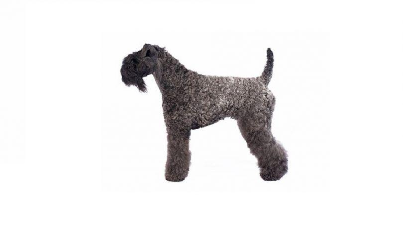 Kerry Blue Terrier perro