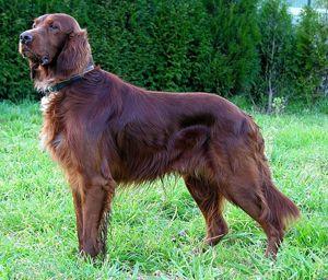 ¡Bésame soy irlandés! Cumplir 7 razas más populares de perros irlandeses