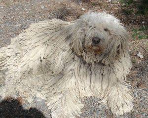 Perro de komondor
