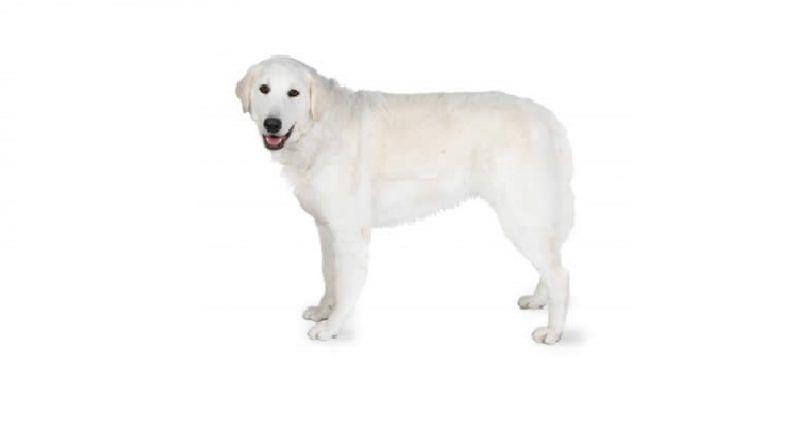 raza de perro de Kuvasz