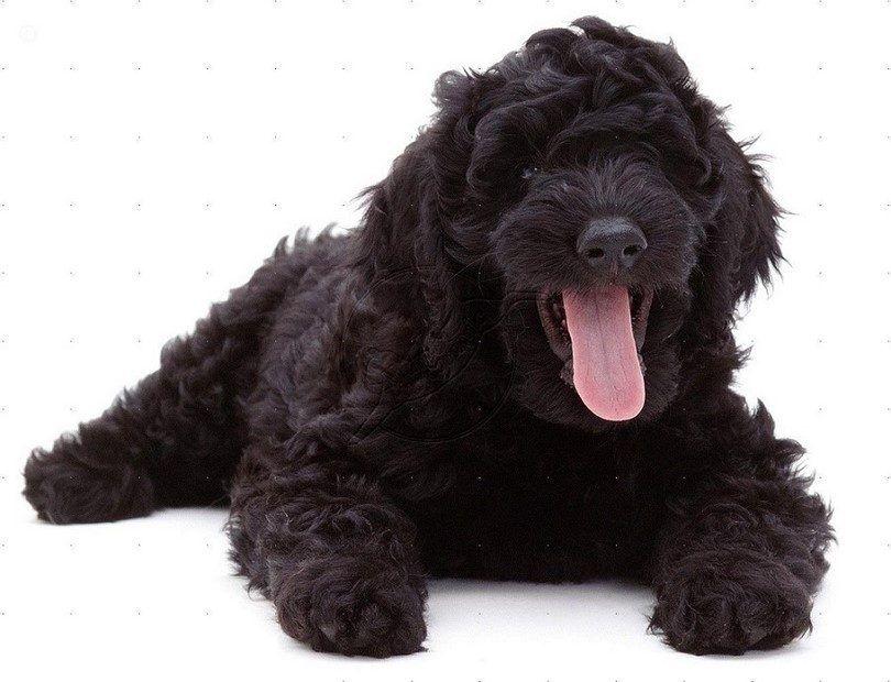 perro labradoodle