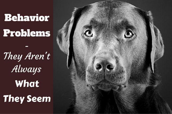 Problemas de comportamiento labrador - lo son realmente?