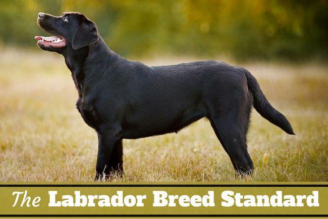 Estándar de la raza labrador - lo que hace que un laboratorio de un laboratorio?