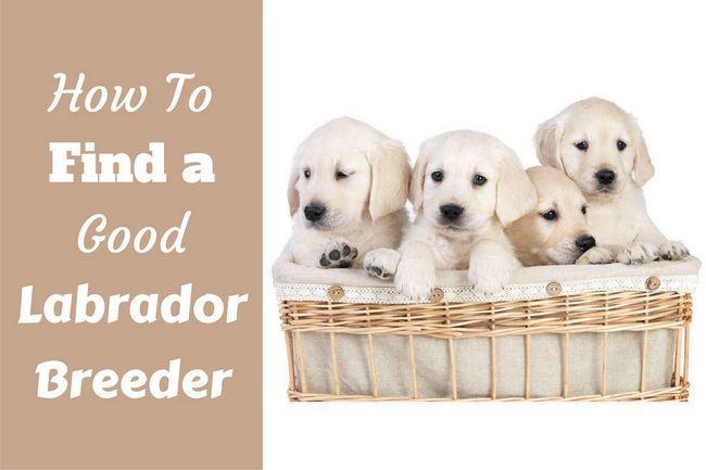 ¿Cómo encontrar un buen criador de labrador escrita al lado de una cesta llena de cachorros de laboratorio