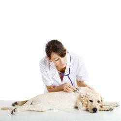 Un veterinario que sostiene un estetoscopio escucha un corazón Labradors amarillo