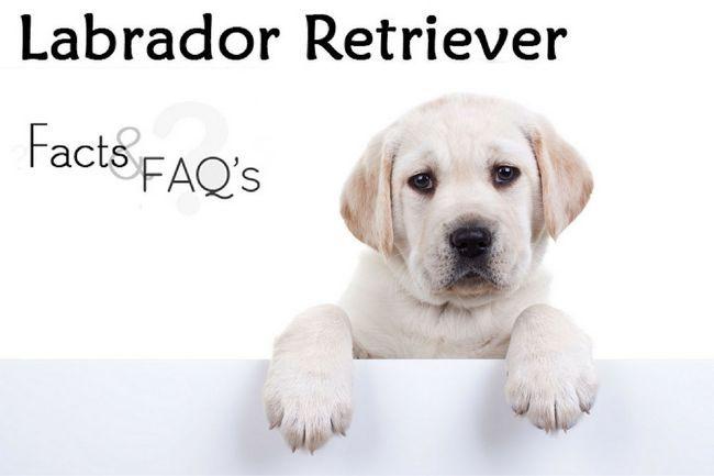 Labrador retriever hechos y preguntas frecuentes
