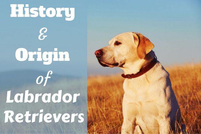 Labrador retriever de la historia: orígenes y momentos emblemáticos