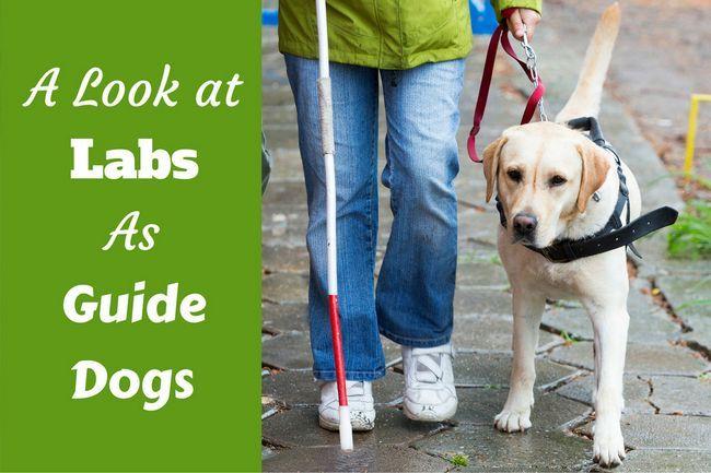 Labradores como perros guía: una visión general y cómo puede ayudar