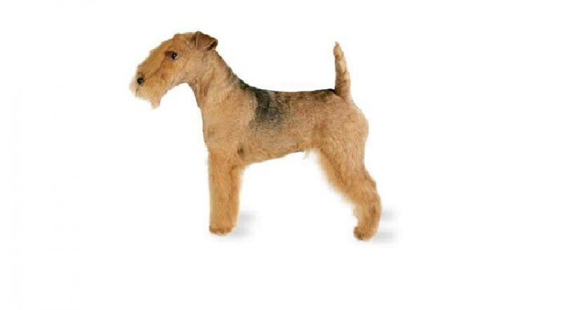 la raza del perro de Lakeland Terrier