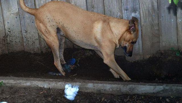 Cómo parar su perro de cavar en su jardín