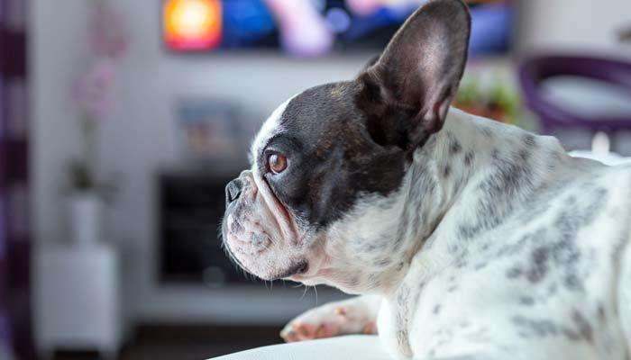En realidad quГ© los perros ver la televisiГіn en el hogar