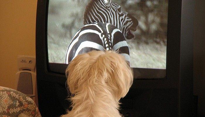 ВїLos perros realmente ver la televisiГіn