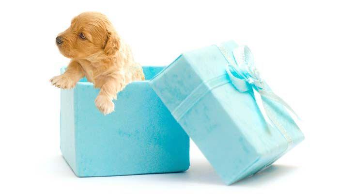 cachorros se dan como regalos