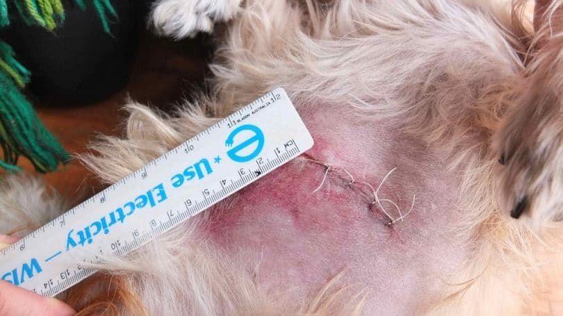 Puntos de sutura despuГ©s de la cirugГa para un lipoma en un perro