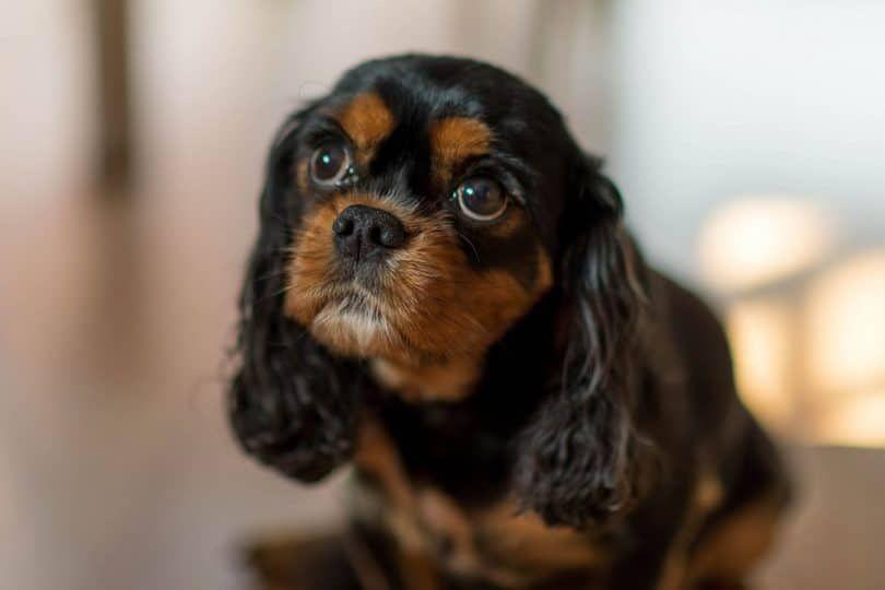 Cavalier King Charles Spaniel doesn`t bark