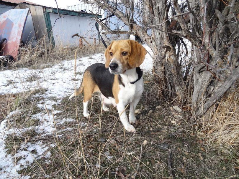 beagles