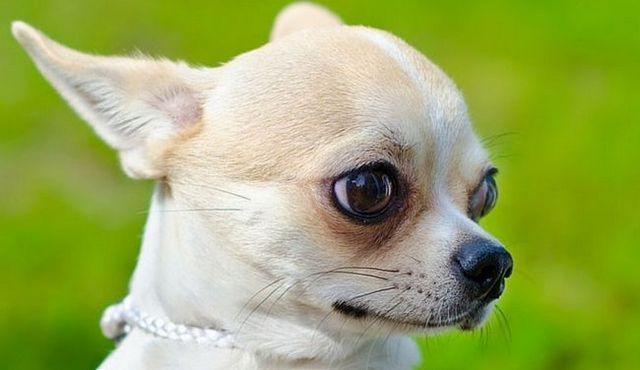 Perro pequeño, gran amor: un vistazo a la chihuahua cabeza de manzana