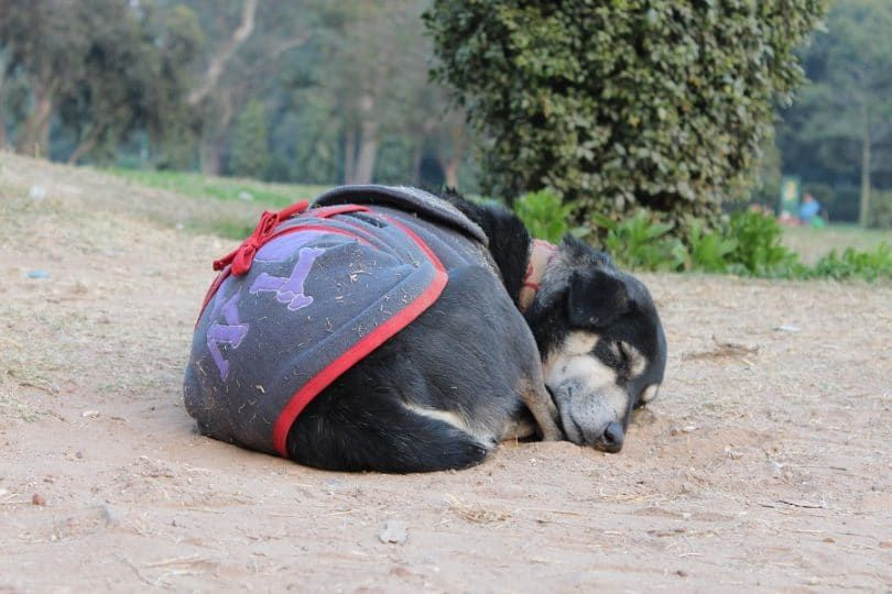 Perro con hepatitis aguda