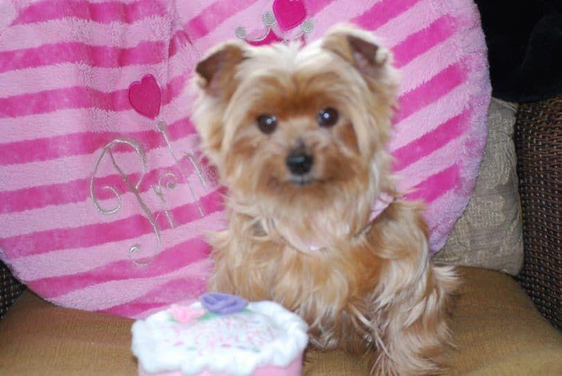 Perro con enfermedad hepática crónica