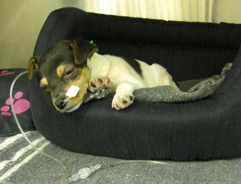 La hepatitis crónica en perros jóvenes