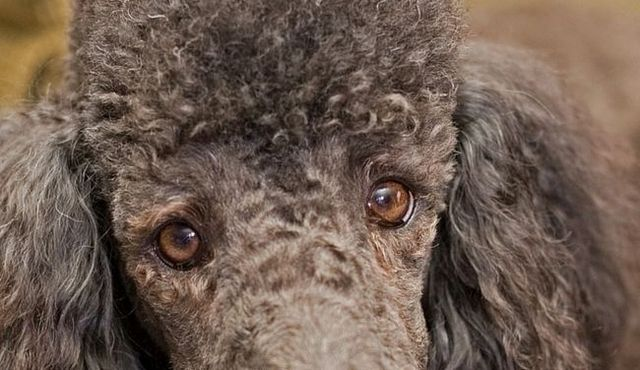 Mirar hacia fuera: el flaco en problemas en los ojos del caniche