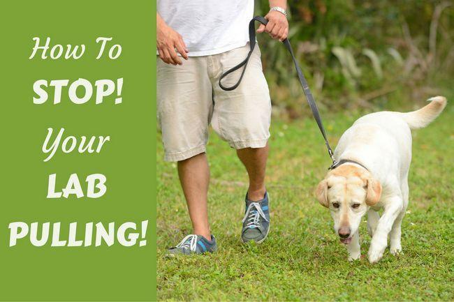 Caminar con correa suelta: cómo dejar a su perro tira de la correa