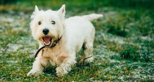 Los sintomas de gusanos en perros