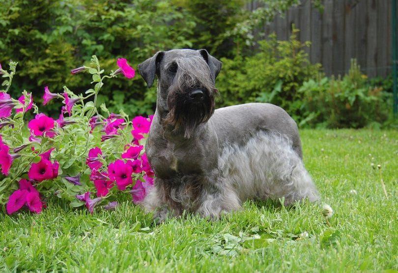 El Cesky Terrier