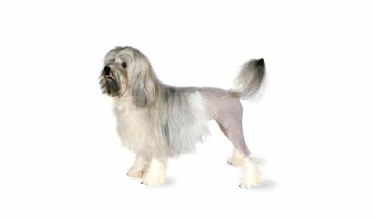 la raza del perro de Lowchen