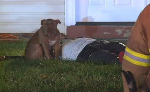Leal pitbull que custodiaba propietario lesionado extraído de la familia que ama