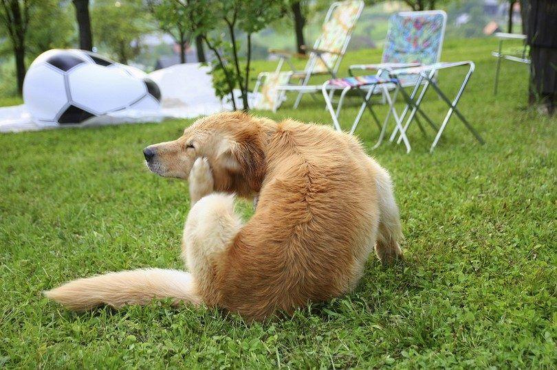 Rascarse perro en hierba