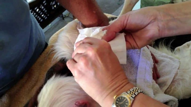tratamiento de la mastitis