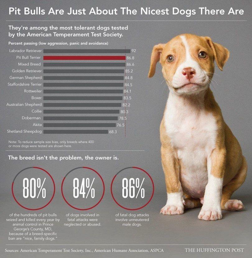 Pitbulls son agradables infografía