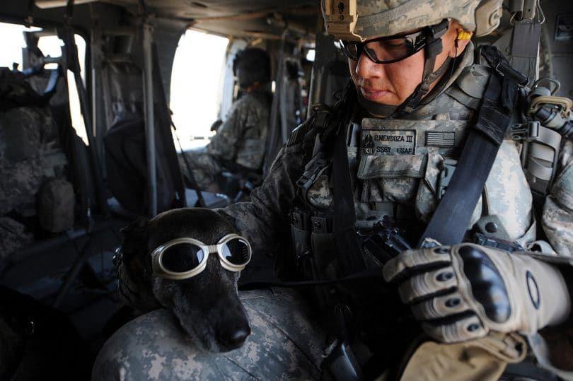 Galgo en el servicio militar
