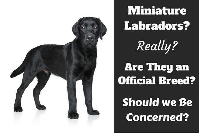 Labrador miniatura? ¿Existen realmente?