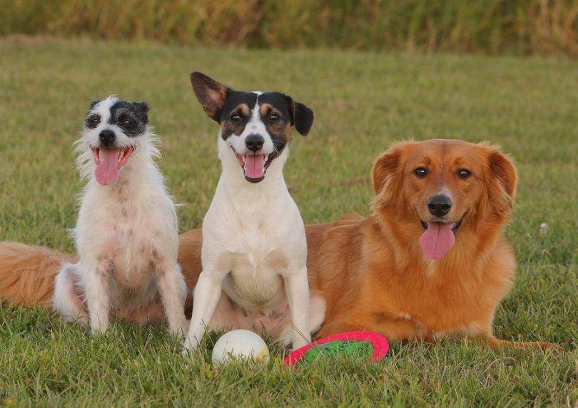 Mezcla de razas de perros