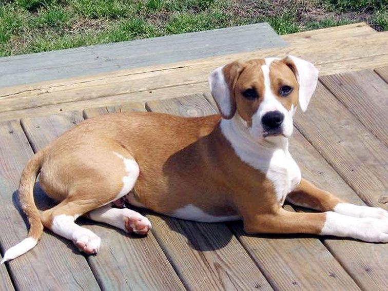 Beagle perro de raza mixta