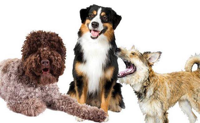 ¡Más para amar! Akc da la bienvenida a 3 nuevos razas de perros en el registro