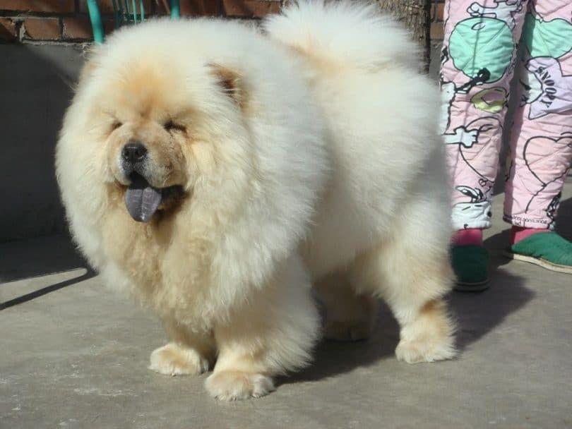 Agresivo perro chino