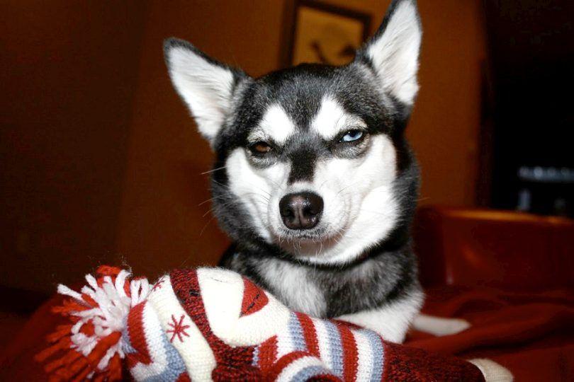 Mi perro se comió un calcetín: ayudar a su perro a superar este pequeño error