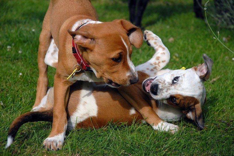Perro odia a todos los otros perros