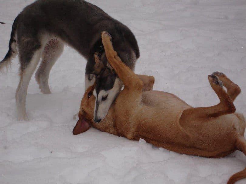 El perro está tratando de defenderte