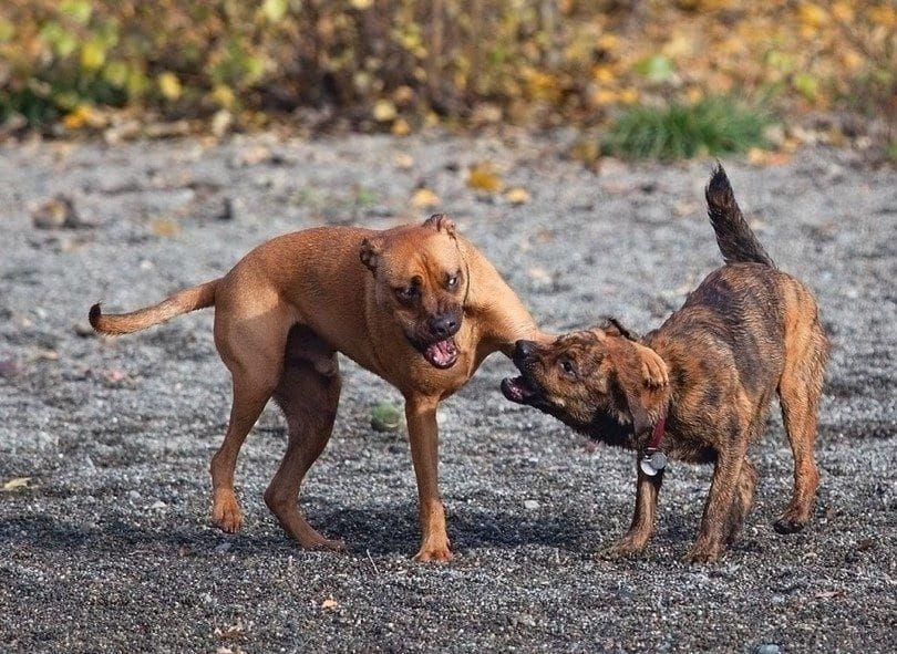 Perro intimida a otros perros