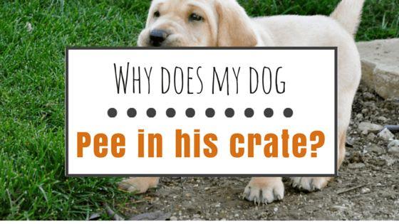 Mi perro se orina en su jaula: ¿qué debo hacer?
