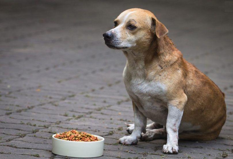 Mi perro no come: razones comunes por rover es choosey con la comida