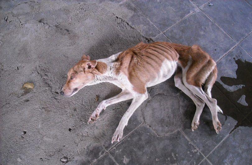 La anorexia en perros