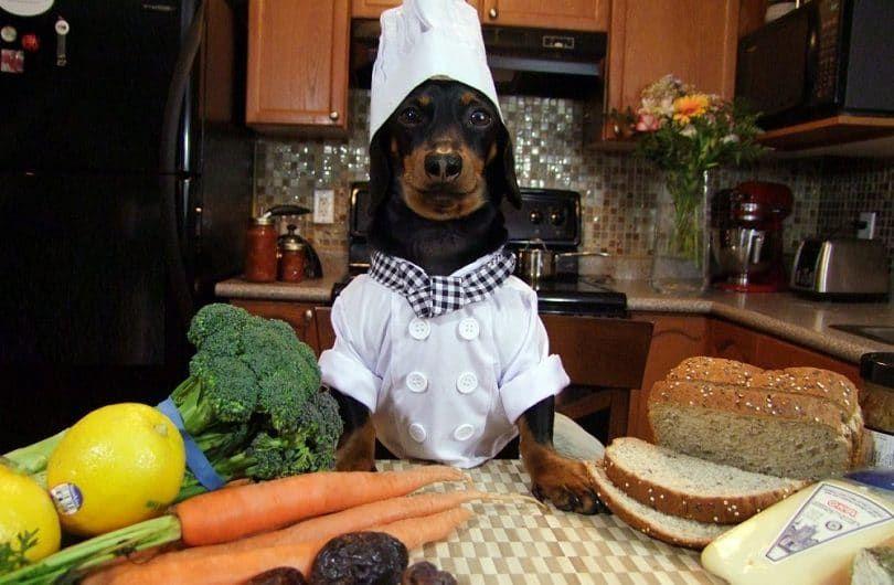 dachshund Chef Crusoe