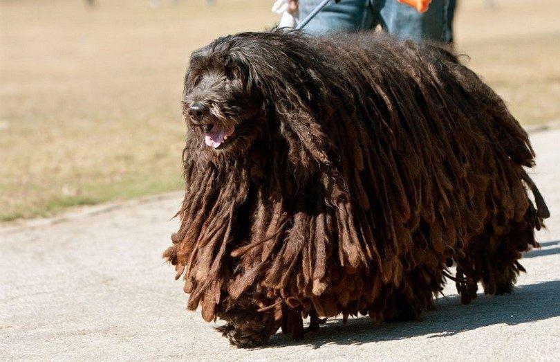 El pan perro Bergamasco